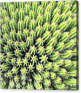 Euphorbia Acrylic Print