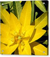 Euphorbia Wallichii Acrylic Print