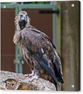 Eurasian Black Vulture 1 Acrylic Print