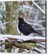 Eurasian Blackbird In The Snow Acrylic Print