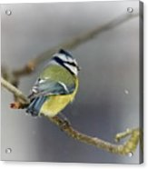 Eurasian Blue Tit With Snow Acrylic Print