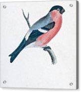Eurasian Bullfinch Artwork Acrylic Print