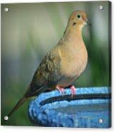 Mourning Dove On Birdbath Acrylic Print