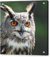 Eurasian Eagle Owl Acrylic Print