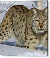 Eurasian Lynx  In Snow Acrylic Print
