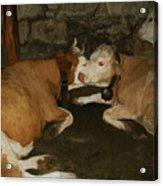 European Cows Acrylic Print