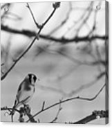 European Goldfinch 1 Acrylic Print