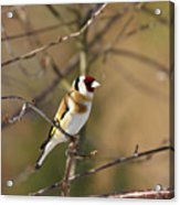 European Goldfinch 2 Acrylic Print