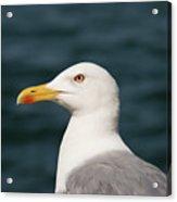 European Herring Gull Portrait Acrylic Print