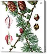 European Larch, Pinus Larix Acrylic Print