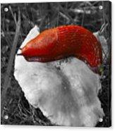 European Red Slug - Arion Rufus Acrylic Print