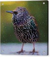European Starling - Painted Acrylic Print