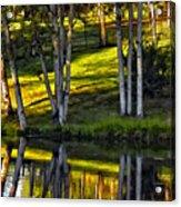 Evening Birches Acrylic Print