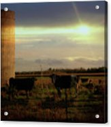 Evening Cows Acrylic Print