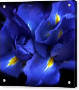 Evening Iris Acrylic Print