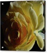 Evening Rose Acrylic Print