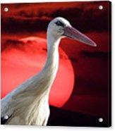 Evening Stork  Acrylic Print