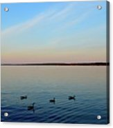Evening Swimming Geese Three  Acrylic Print