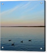 Evening Swimming Geese Two  Acrylic Print