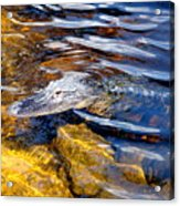 Everglades Alligator Acrylic Print