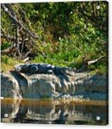 Everglades Crocodile Acrylic Print