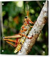 Everglades Grasshopper Acrylic Print