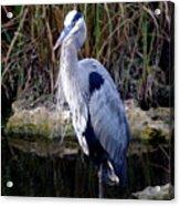 Everglades Heron Acrylic Print
