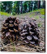 Evergreen Pinecones Acrylic Print