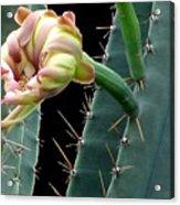Every Cactus Flower Has It's Thorns  Acrylic Print