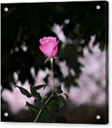 Every Rose Has Its Thorn Acrylic Print