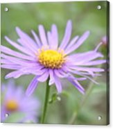 Everything Is Coming Up Daisies Acrylic Print
