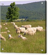 Ewe's Eye View Acrylic Print