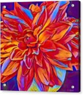 Exciting Red Dahlia Acrylic Print