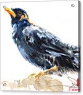 Myna Bird From Thailand Acrylic Print