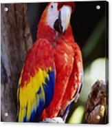 Exotic Parrot Acrylic Print