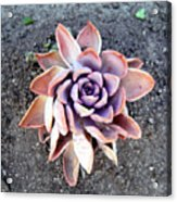 Exotic Succulent Plant - Pink Lilac Acrylic Print