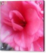 Exploding Pink Azaleas Acrylic Print