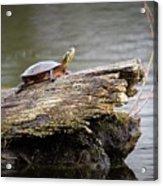 Exploring Turtle Acrylic Print