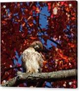 Expressive Hawk Acrylic Print