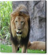 Expressive Male Lion Prowling Around In Nature Acrylic Print