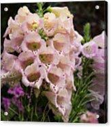 Exquisite Elegant English Foxgloves Acrylic Print