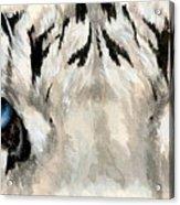 Royal White Tiger Gaze Acrylic Print