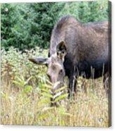 Eye-contact With The Moose Acrylic Print