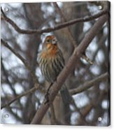 Eye-contact With The Rare - Orange Phase - House Finch Acrylic Print