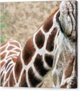 Eye Of The Giraffe. Acrylic Print