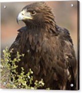 Eye Of The Golden Eagle Acrylic Print