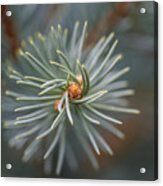 Eye Of The Pine Acrylic Print