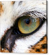 Eye Of The Tiger Acrylic Print by Helen Stapleton