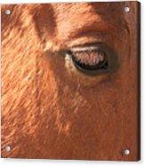 Eyelashes - Horse Close Up Acrylic Print