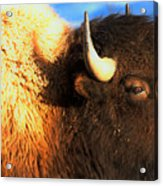Eyes Of The Bison Spring 2018 Acrylic Print